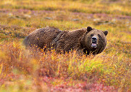 Grizzly Bear in autumn in Denali National Park and Preserve. FOTO: JEAN-PIERRE LAVOIE, WIKIMEDIA, CC-A 2.5 GL